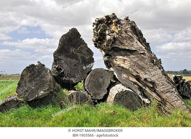 Excavated Kauri trunks, about 45, 000-years-old, Ancient Kauri Kingdom, Awanui, Highway 1, North Island, New Zealand