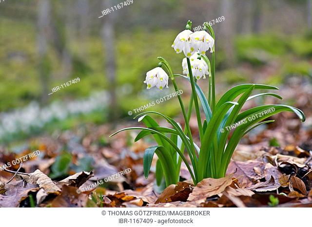 Spring Snowflakes (Leucojum vernum) in a beech forest