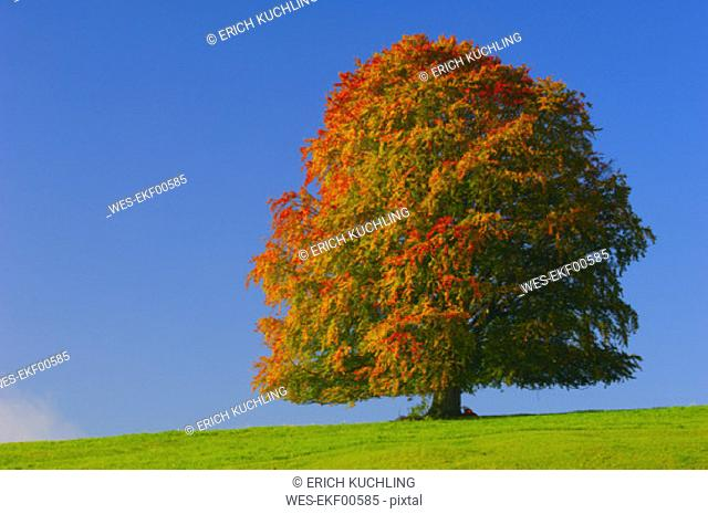 Beech tree in autumn, Bavaria, Germany