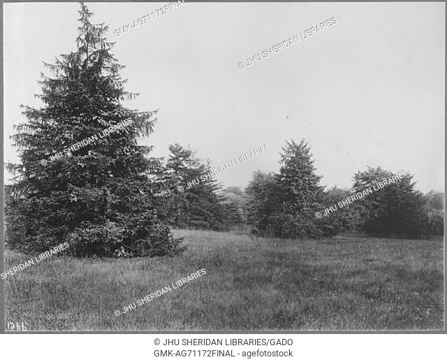 View of untouched land near Roland Park and Guilford, there are large pine trees scattered on the land, Baltimore, Maryland, 1910