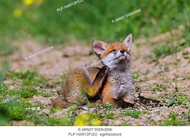 Red fox ( Vulpes vulpes) cub / kit scratching fur with hind leg in spring