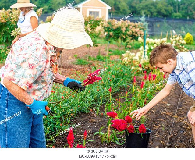 Senior woman and grandson harvesting flowers on farm