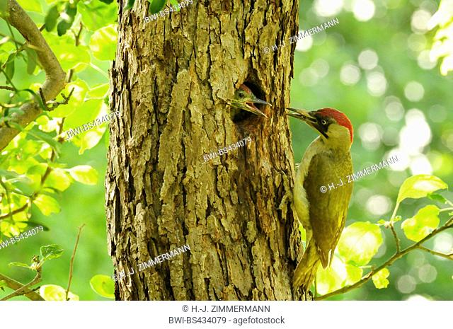 green woodpecker (Picus viridis), at ist breeding cave with fodder in the bill - chick looks out of the cave, Germany, Rhineland-Palatinate
