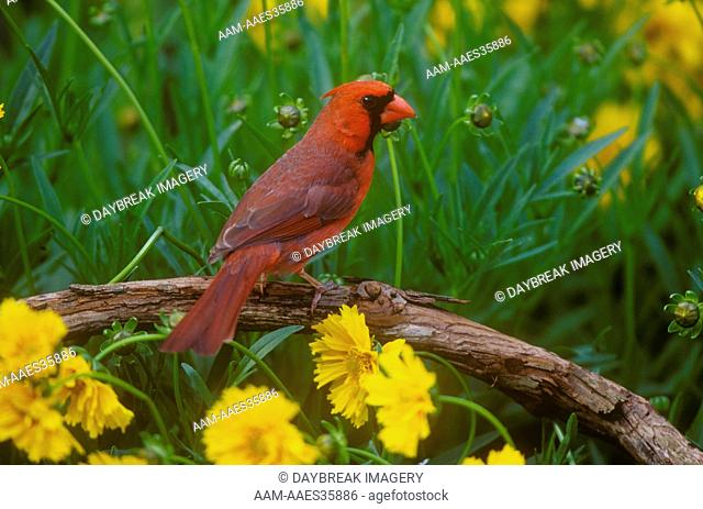 Northern Cardinal male (C. cardinalis) @ Lance-leaved Coreopsis, Marion Co., Illinois (Coreopsis lanceolata)