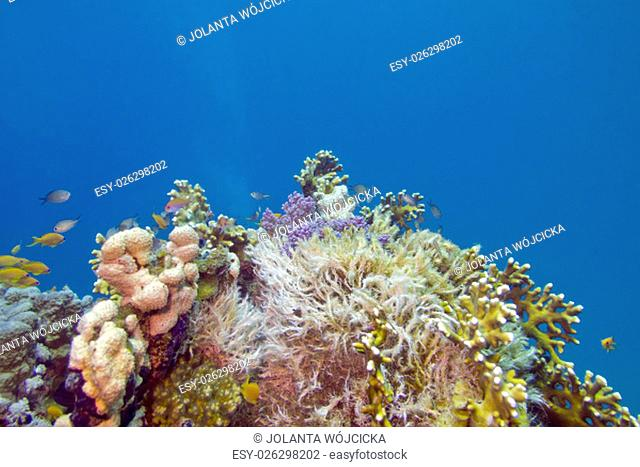 colorful coral reef on the bottom of tropical sea, underwater