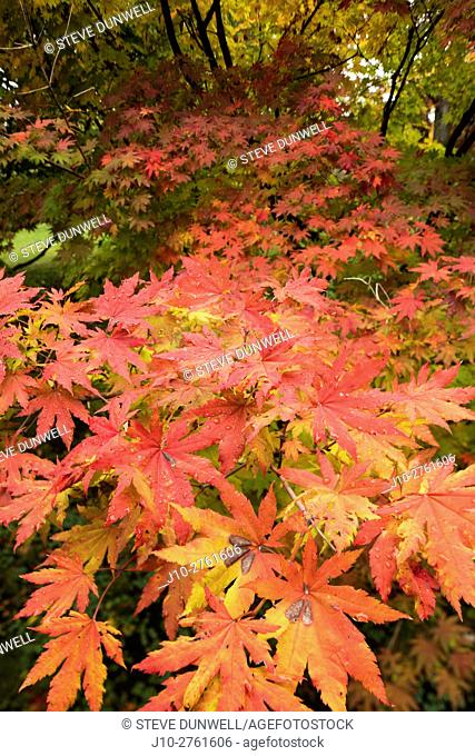 Maple, Arnold Arboretum, autumn, Boston, Massachusetts, USA