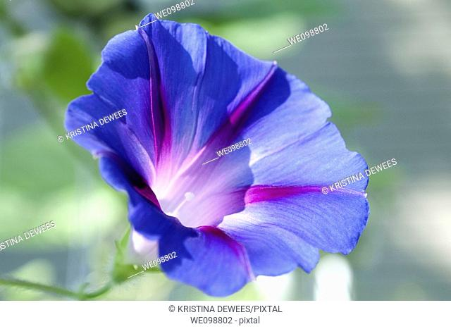 A blue and purple tricolor Morning Glory