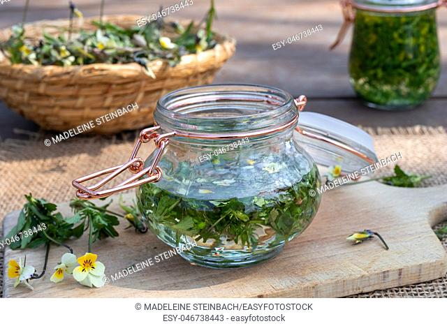 Preparation of homemade tincture from field pansy, or Viola arvensis plant