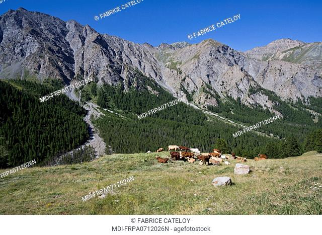 France - PACA - Hautes Alpes - Queyras - Herd of cows in the mountain pasture