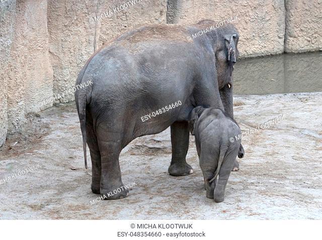 Baby elephant nursing milk from mother, growing big
