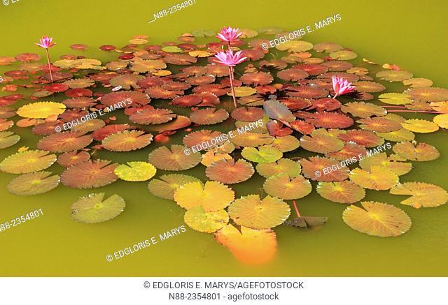 Water lillies Jardin Botanico de Caracas