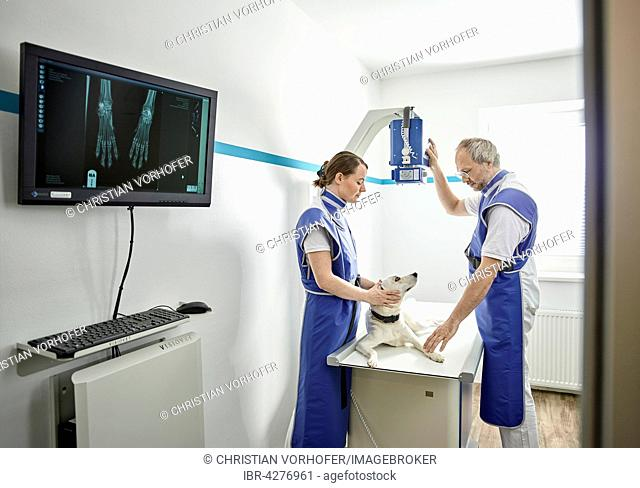 Vets examining dog in veterinary practice, X-ray, Austria