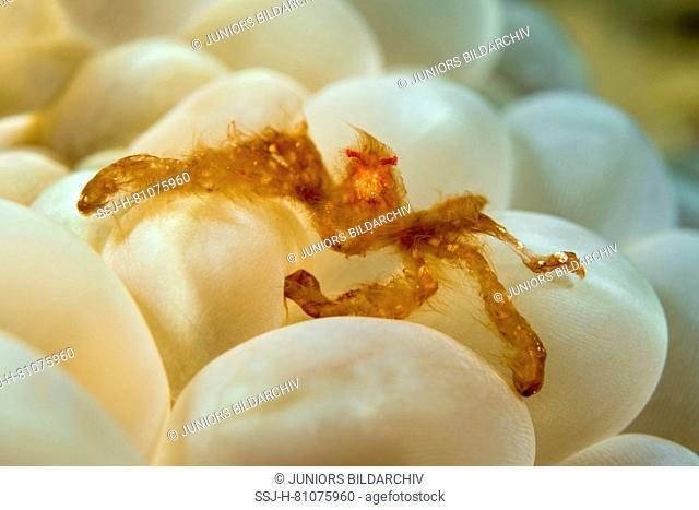 Orang-Utan Crab (Achaeus japonicus) (Achaeus japonicus) associated with the bubble coral Plerogyra sinuosa. Celebes Sea. Bunaken National Park, North Sulawesi