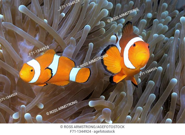 Clown anemonefish Amphiprion percula  Lembeh Strait, Celebes Sea, North Sulawesi, Indonesia