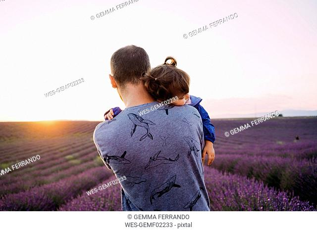 France, Valensole, back view of father holding his little daughter in front of lavender field at sunset