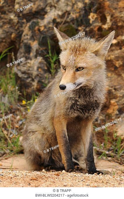 red fox Vulpes vulpes, resting, Spain, Andalusia, Naturpark Sierra de Cazorla