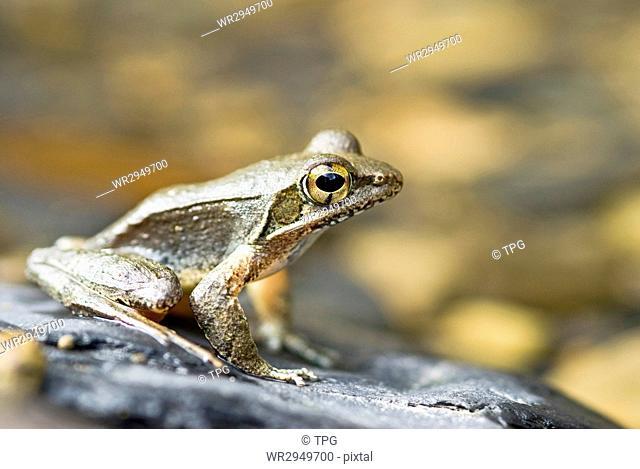Frog (Rana sauteri) on the river stone, Taiwan, East Asia