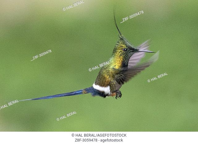 Wire-Crested Thorntail Hummingbird male flying (Discosura popelarii). Ecuador