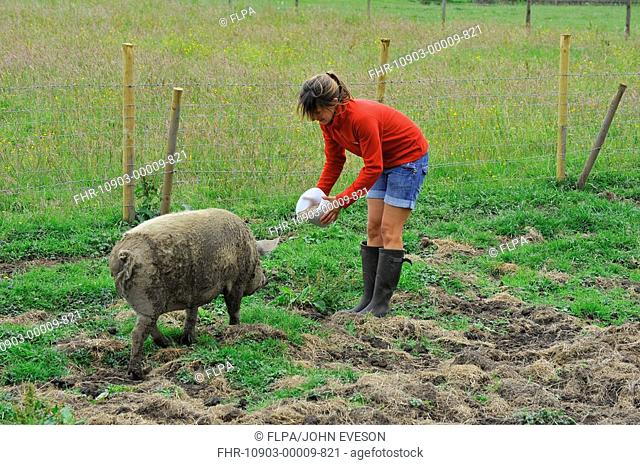 Domestic Pig, Mangalitza gilt, feeding, being fed by owner in paddock, England, july