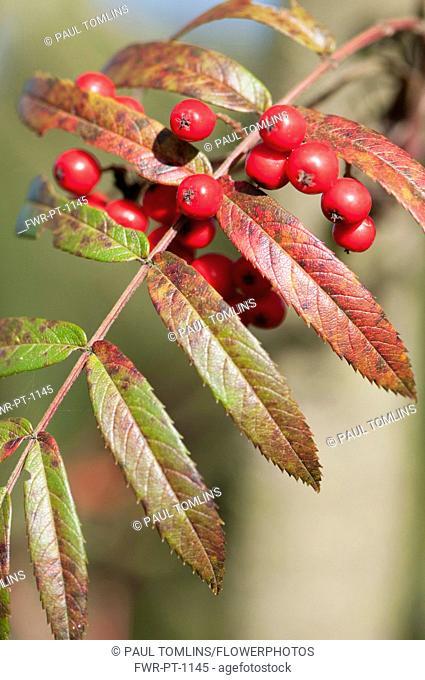 Rowan, Esserteau's Rowan, Sorbus esserteauana x Sorbus scalaris, Close view of leaf and red berries