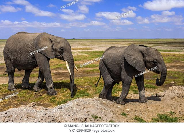 African Elephant youngsters walking on dry area of Amboseli National park, Kenya