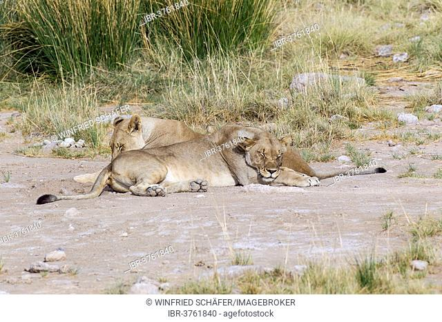 Two lionesses (panthera leo) sleeping, Purros, Kaokoland, Kunene, Namibia
