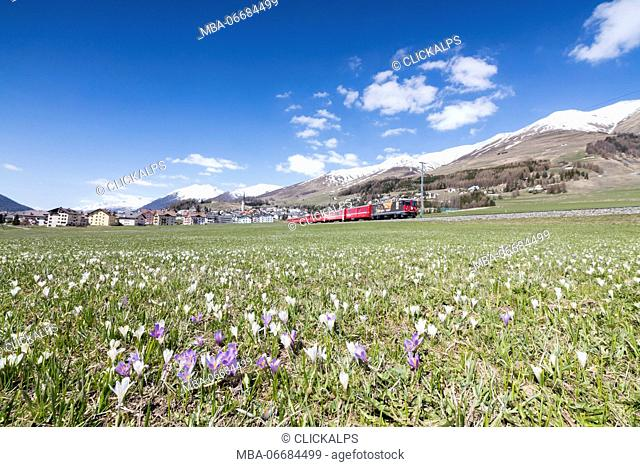 Crocus in bloom frame the red train passing across the village of Zuoz Canton of Graubünden Engadine Switzerland Europe