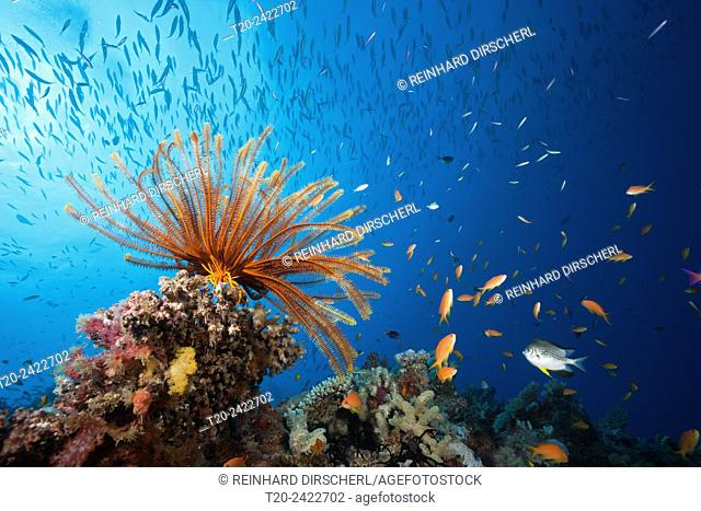 Reef Scene with Crinoid and Fishes, Great Barrier Reef, Australia