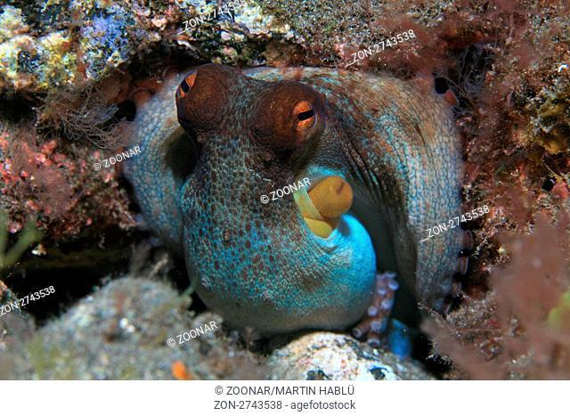 Gewöhnlicher Krake, Octopus vulgaris, Teneriffa, Kanarische Inseln, Atlantischer Ozean, Common Octopus, Tenerife, Canary Islands, Atlantic Ocean