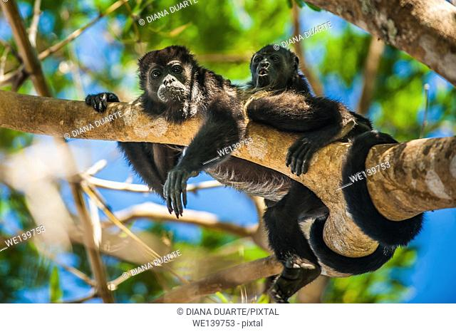 howler monkey, National Park of Palo Verde, Costa Rica. Adults are black with brown or blonde saddles; infants are silver to golden brown and become...