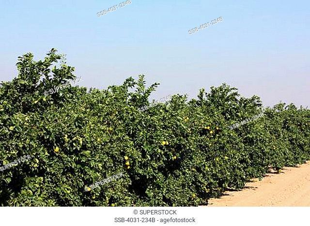 USA, California, Kern county, Orange grove