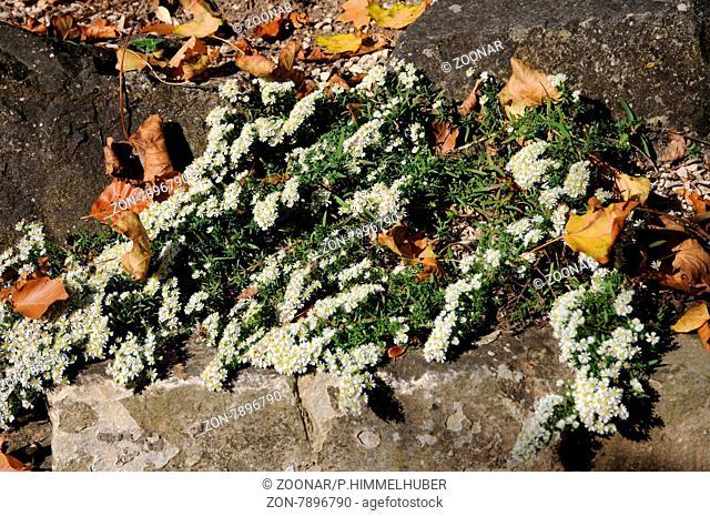 Aster ericoides, Teppichmyrtenaster, Heath aster