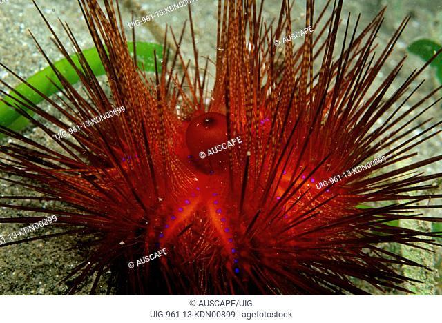 Diadema urchin with the fecal sac in center North Queensland, Australia