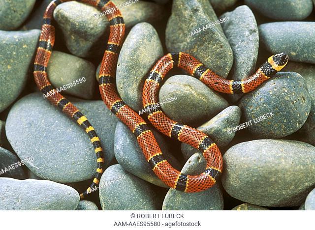 Many-ringed Coral Snake (Micrurus diastema) Cayo, Belize