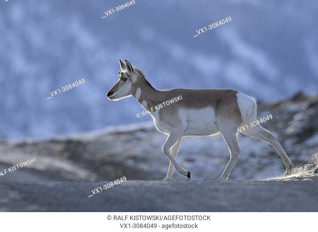 Pronghorn ( Antilocapra americana ) in winter, crossing an icy dirt road, nice backlight situation, Yellowstone NP, Montana, USA