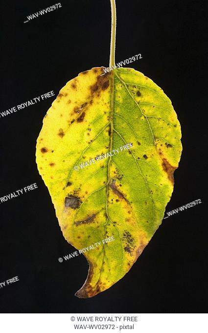 Balsam Poplar Leaf in fall, Alberta, Canada