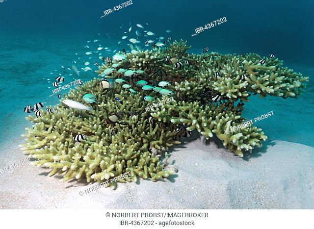 Small Acropora Coral (Acropora sp.) with various small fish, Great Barrier Reef, Queensland, Cairns, Pacific Ocean, Australia