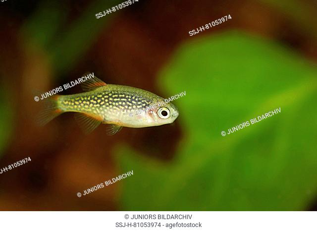 Celested Pearl Danio, Galaxy Rasbora (Danio margaritatus). Female in an aquarium