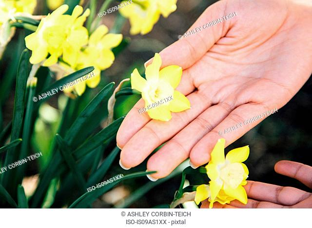 Cropped view of hands touching plant with yellow flowers