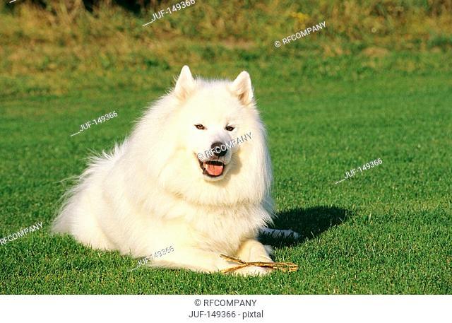 Samoyed dog - lying on meadow