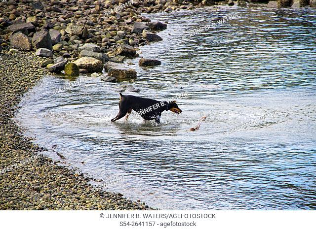 A dog plays with a stick in the water in Tacoma, Washington, USA