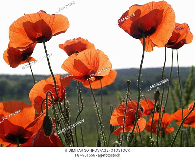 Red Poppy, Papaver rhoeas in flower meadow, Bulgaria