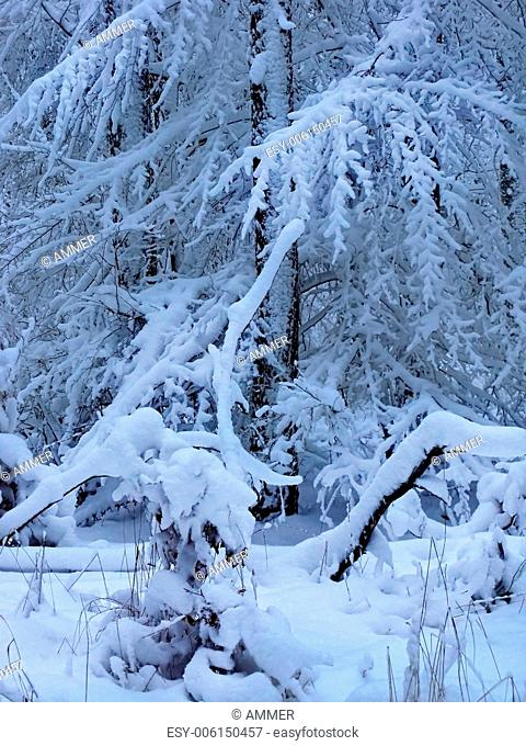Snowy tree branches, detail of winter forest, Drahany Highlands, Southern Moravia, Czech Republic, Central Europe