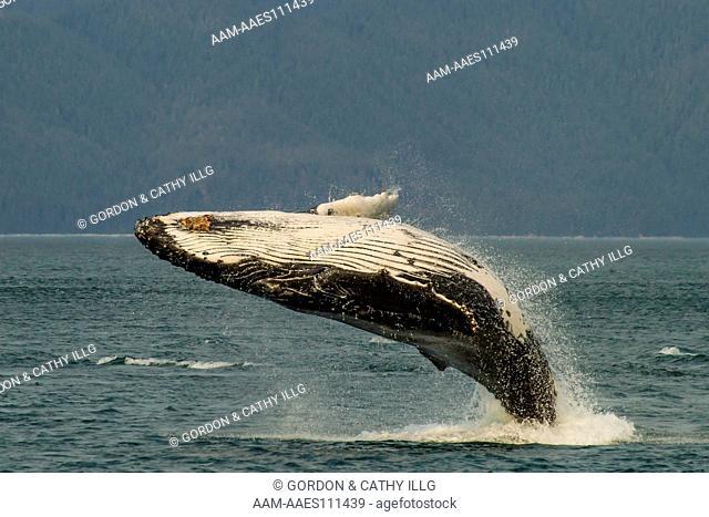 Humpback whale breaching (Megaptera novaeangliae), AK