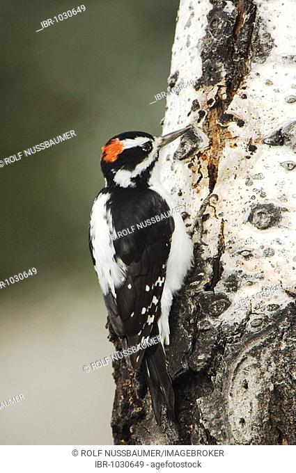 Hairy Woodpecker (Picoides villosus), male climbing aspen tree, Grand Teton National Park, Wyoming, USA
