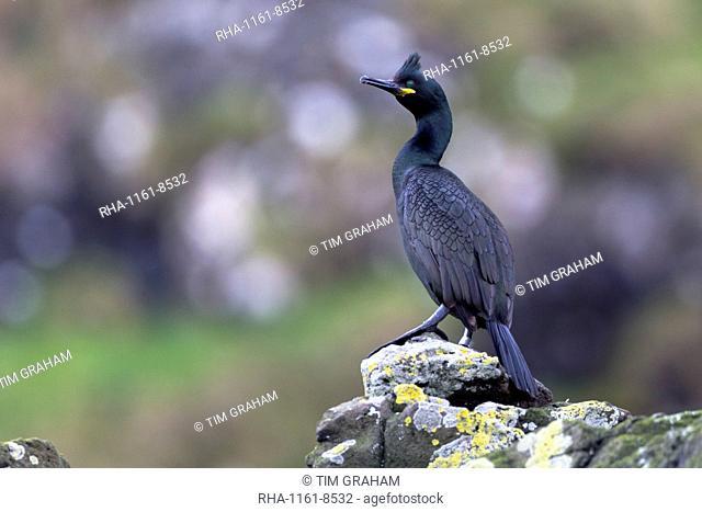 Shag (Phalacrocorax aristotelis) on rocks on Isle of Canna, Inner Hebrides and Western Isles, Scotland, United Kingdom, Europe