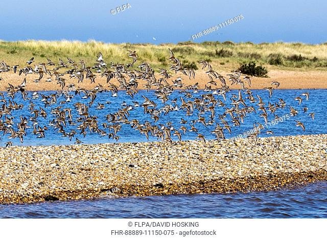 Flock of Dunlin in flight, coming into summer plumage on shingle spit at Scolt Head Island, Brancaster Harbour, North Norfolk