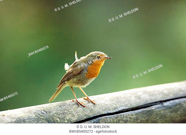 European robin (Erithacus rubecula), sits on a wooden fence, Germany, Bavaria