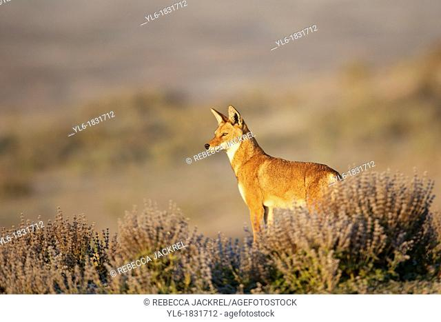Ethiopian wolf standing amid salvia plants