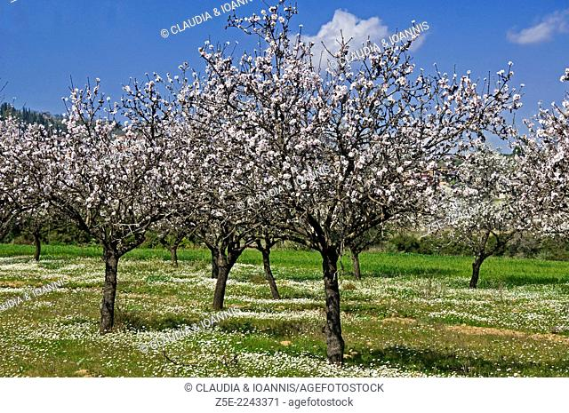 Blooming almond trees - Pelion Peninsula, Thessaly, Greece